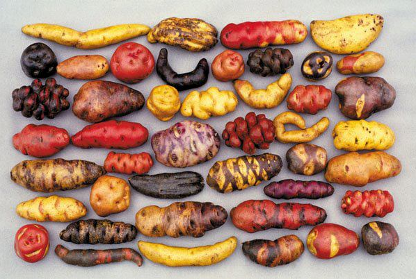 This is only a small sample of the many varieties of Andean Potatoes.  When I was in Peru I tried about a dozen different varieties.  Click link to learn fascinating Andean Potato facts!