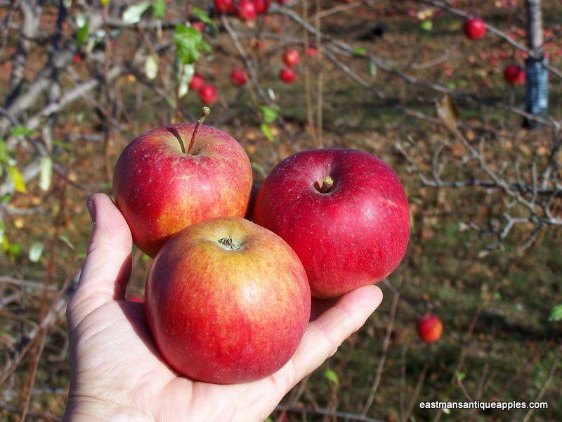 mammoth Blacktwig Eastmans Antique Apples Apple