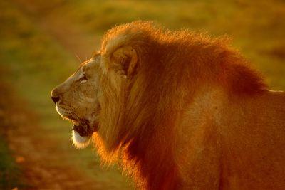 lionred