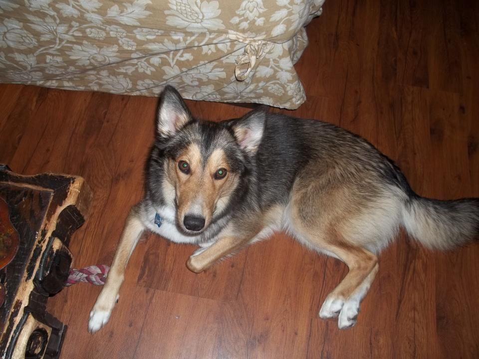 Coyote German Shepherd Mix Hank Dog Mixes Dogs Pet Blog