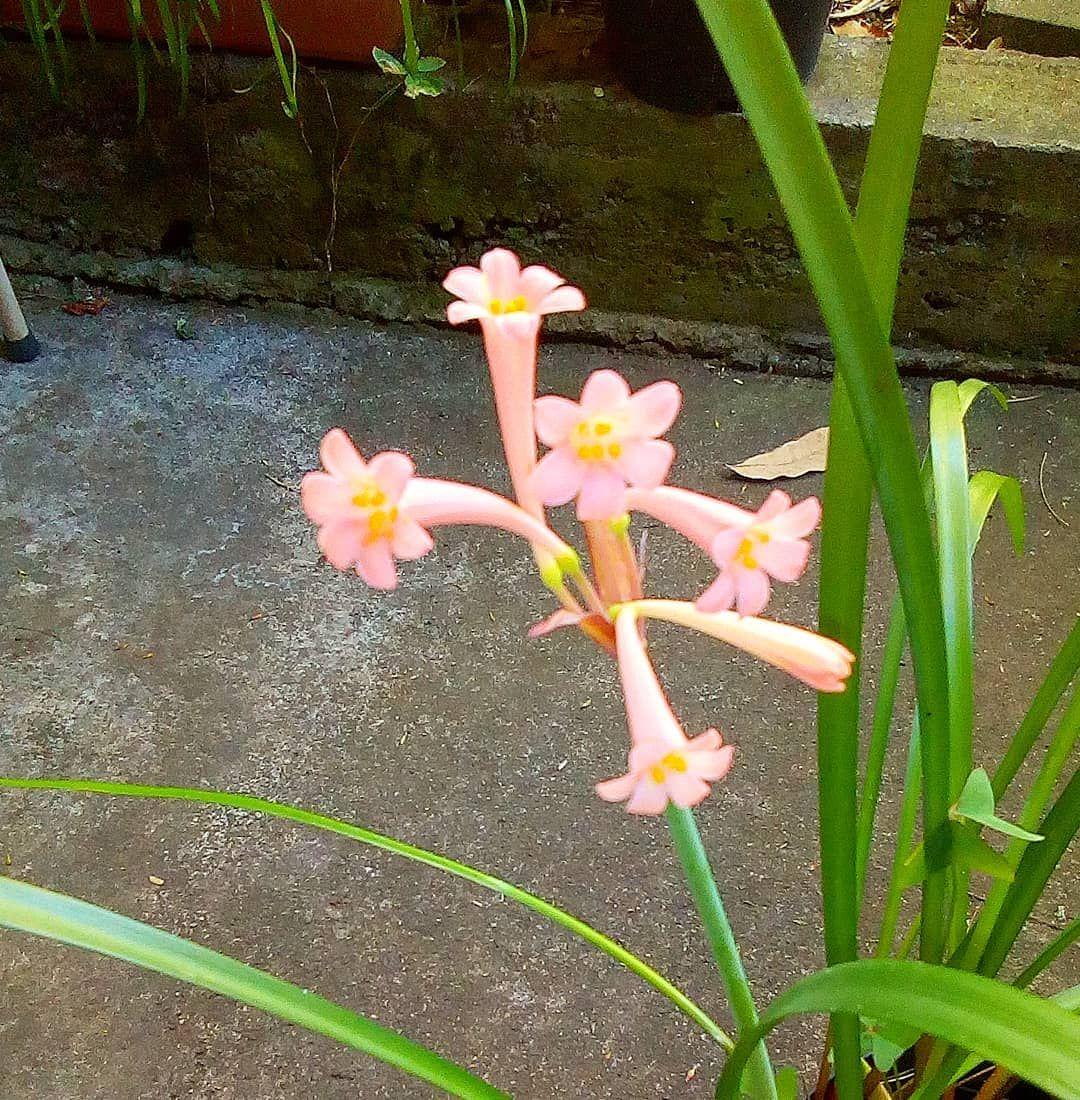 Cyrtanthus Brachyscyphus De Mon Jardin Fleur De La Famille Des