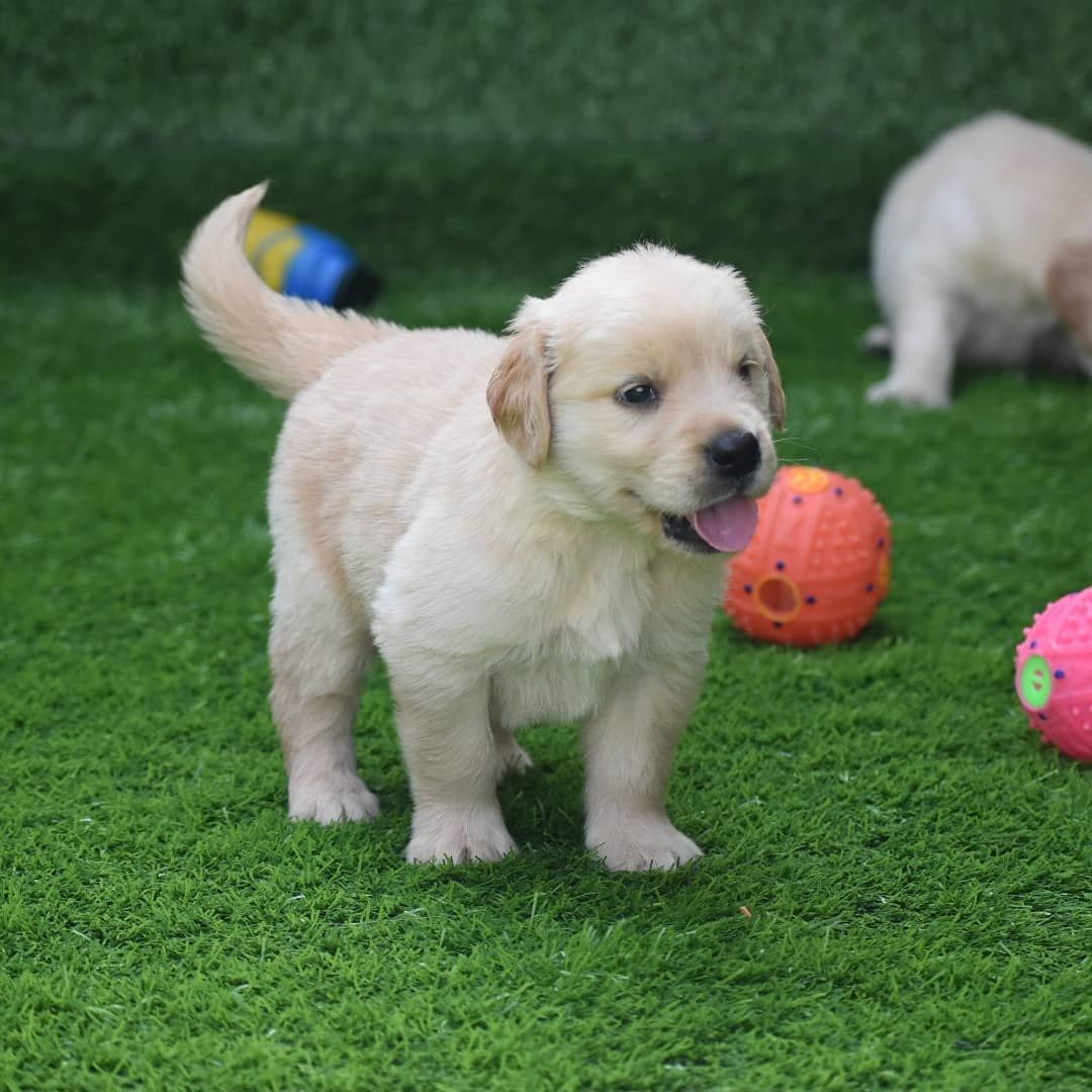 Golden Retriever Puppies For Sale Dogs Paradise In 2020