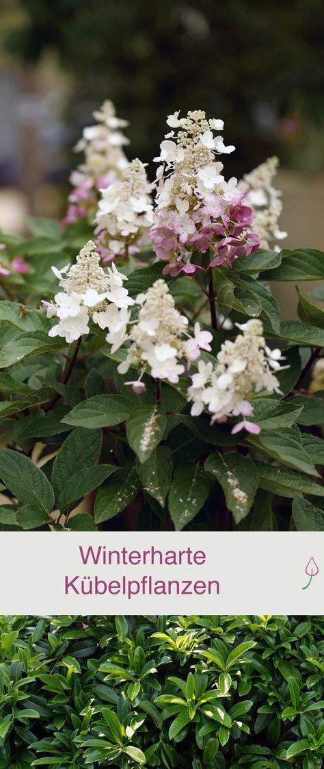 Winterharte Gehölze als Kübelpflanzen für Balkon und Terrasse ...
