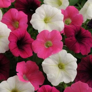Shock Wave Mix Power Petunias Shock Wave Seeds For Sale