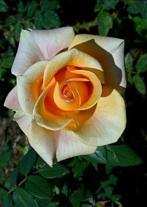 Imagem De Rosas Por Josirene Em Rosas Flores