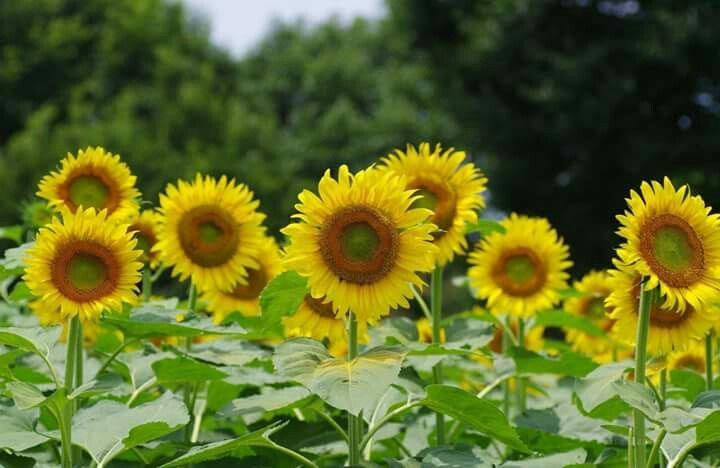 Pin By Jovanka On Sunflowers With Images Happy Flowers Sunflower Fields Pansies