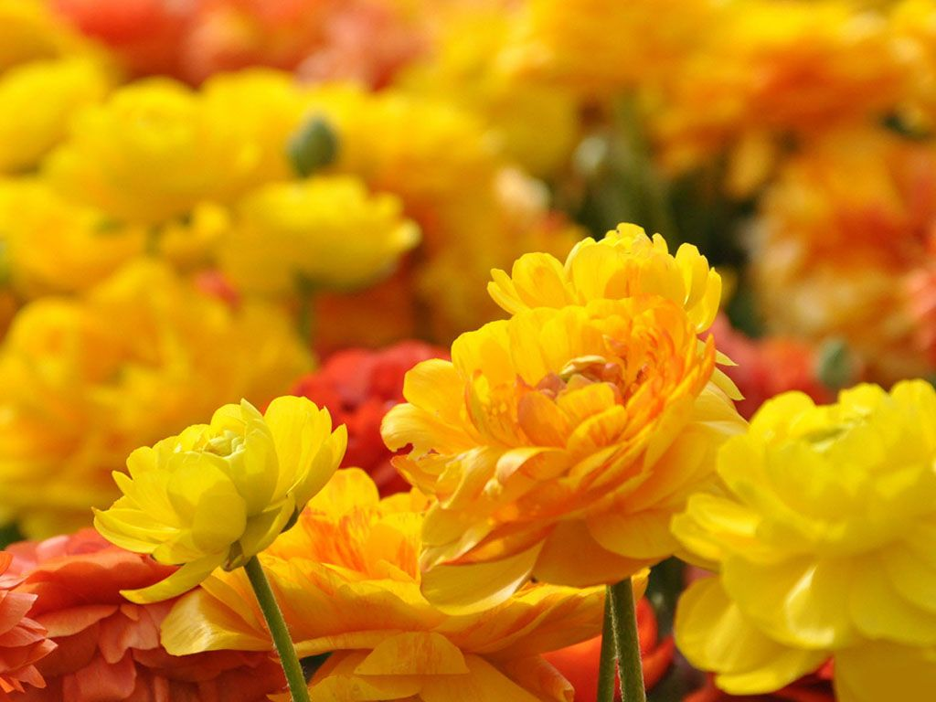 Natural Flowers Wallpapers Free Download Free Image Images