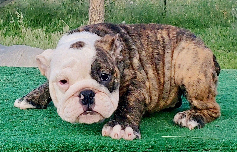 Rainbow Sherbert Brindle English Female 2700 English Bulldog Puppies Bulldog Puppies English Bulldog Puppy