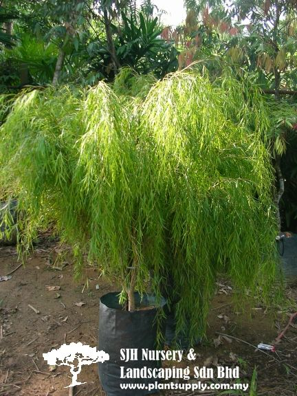 T020804salix Babylonica Weeping Willow Tropical Trees Pinterest Whole Plant Nursery Supplies And Plants