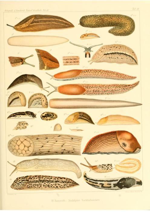 Slugs on Scientific Illustration tumblr. Thank you for making ...