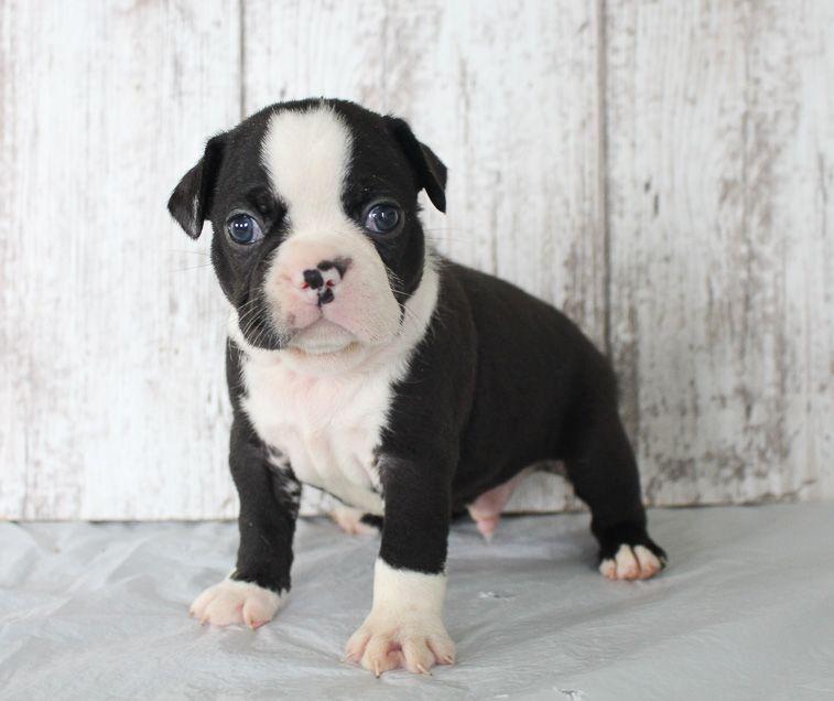 Beatle Male Boston Terrier Akc Puppy For Sale Shipshewana