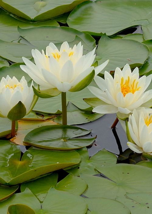 Four Water Lilies Greeting Card for Sale by Wendy Yee Calendar
