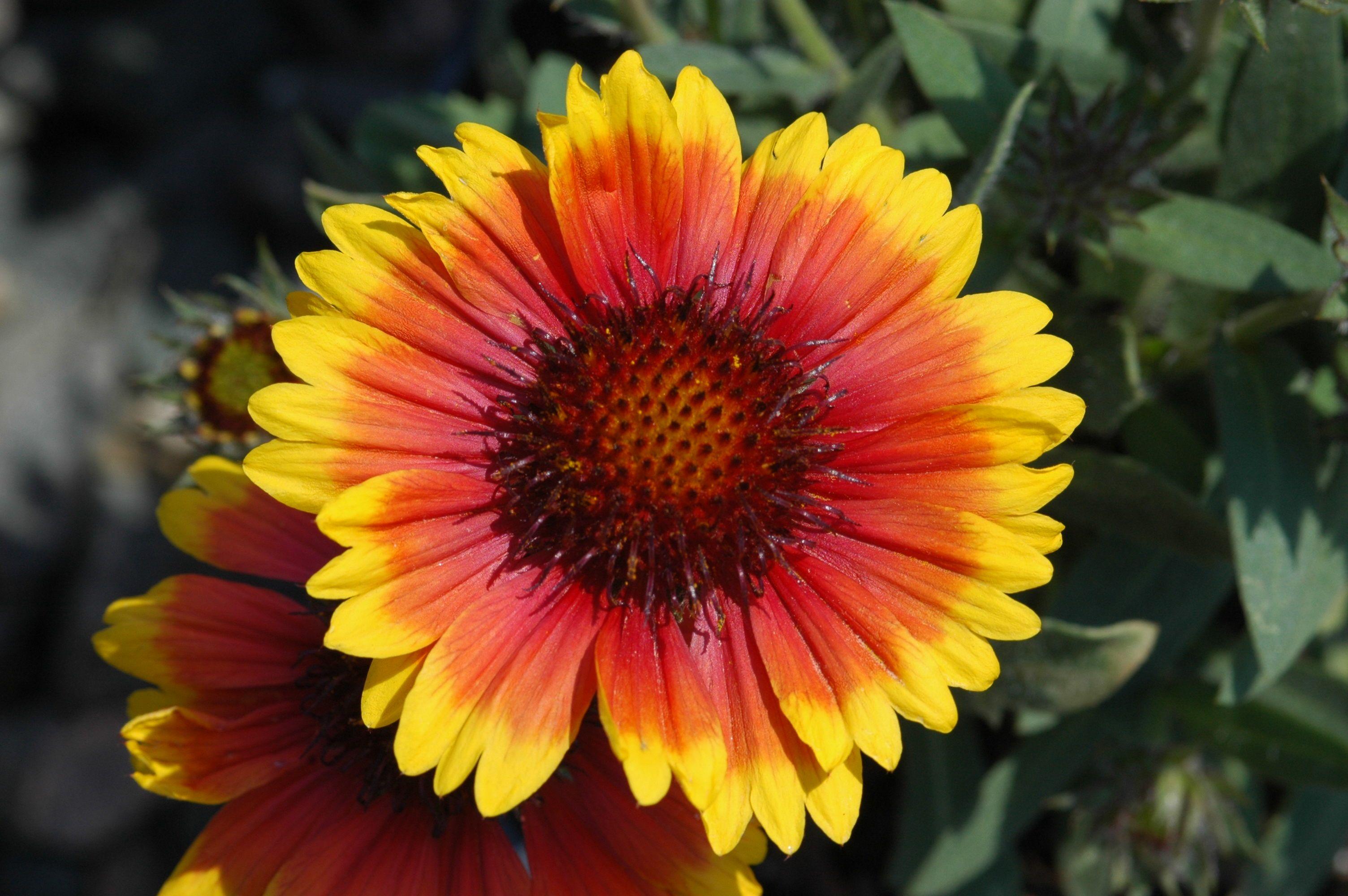 These Lovely Daisy Like Flowers Gaillardia Aristata Arizona Sun