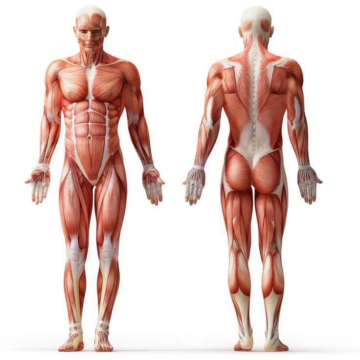 afbeeldingsresultaat voor nude models for drawing | anatomy, Muscles