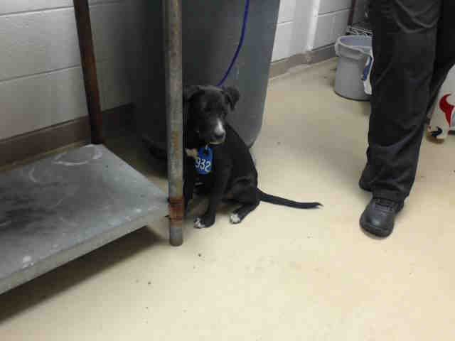 Chip Id A470484 Urgent Harris County Animal Shelter In Houston Texas Adopt Or Foster 14 Week Old Neutered Male Animal Shelter Animals Humane Society