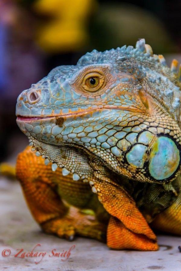Lizard Lizard By Deedeebean イグアナ トカゲ 生き物