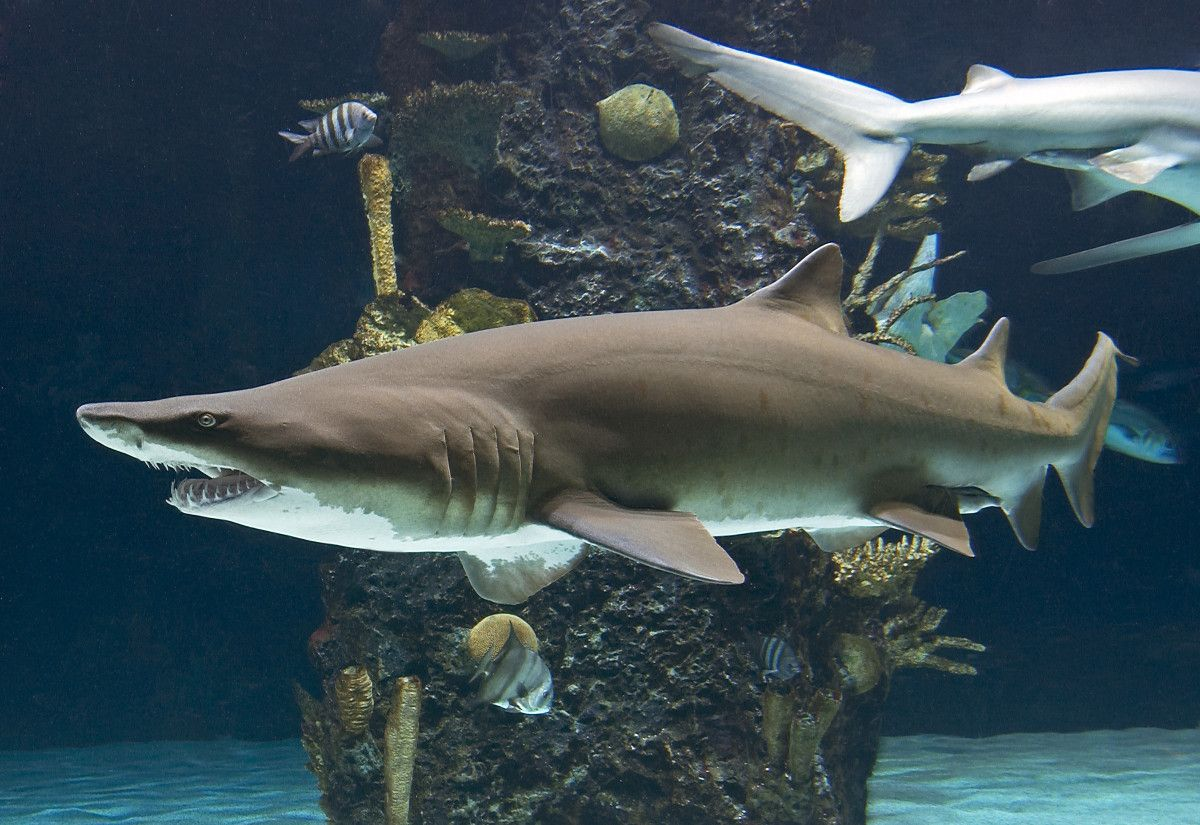 Knownprimarilyas solitary animals, new research is showing that sharks likely have a much more complex social structure than previously thought. The findings reveal social networks more typically...