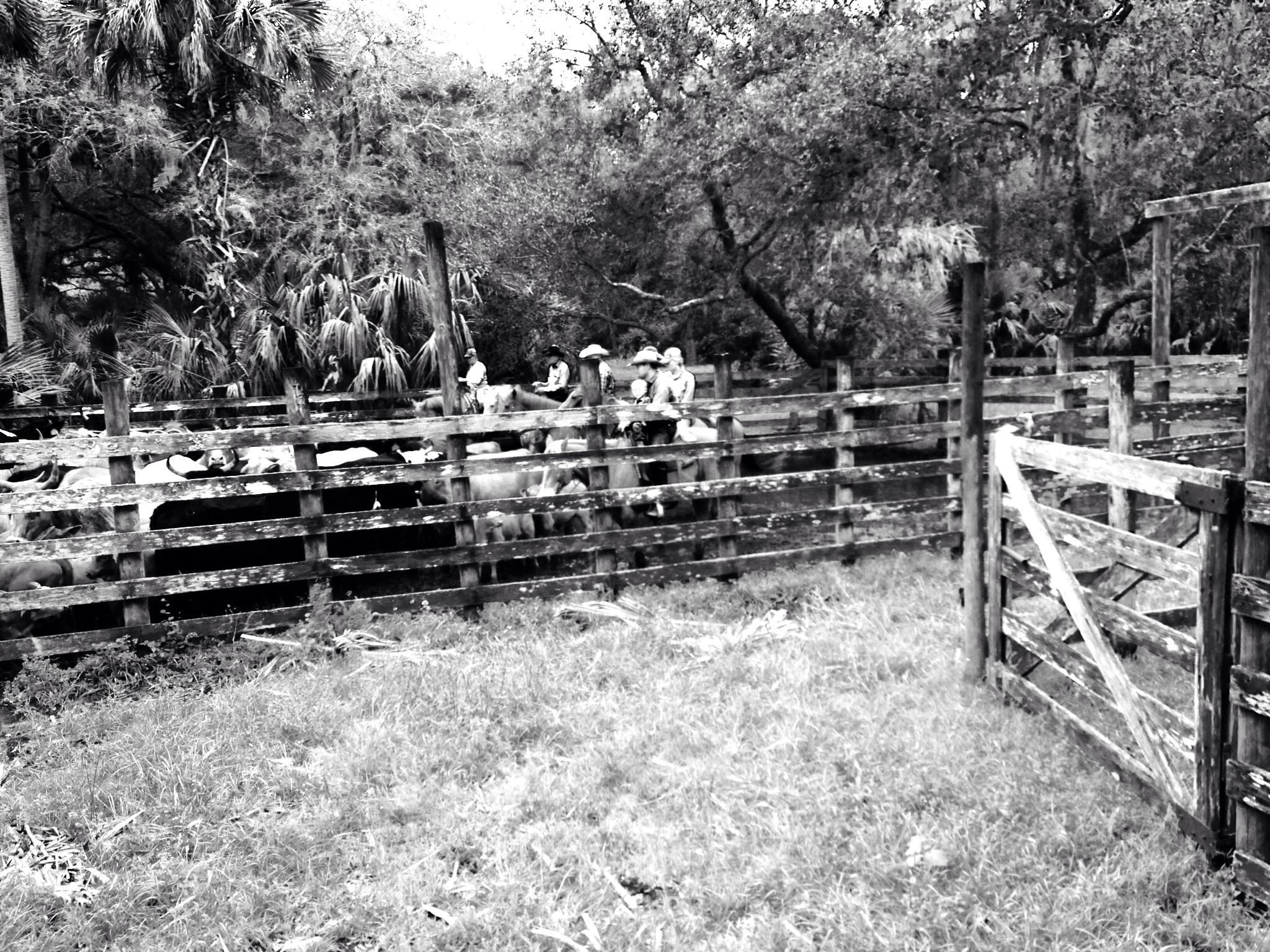 Bringing Cattle Into The Pens Old Florida Vintage Florida Orlando Strong