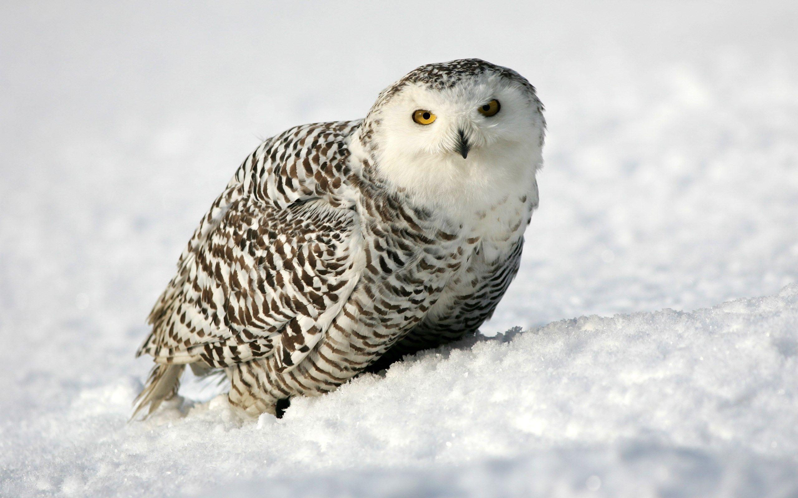 2560x1600 Px Wallpaper Desktop Snowy Owl By Mosiah Robertson For Pocketfullofgrace Com Snowy Owl Owl Wallpaper Owl