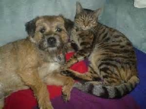 Touted As Amongst The Oldest British Terriers The Border Terrier