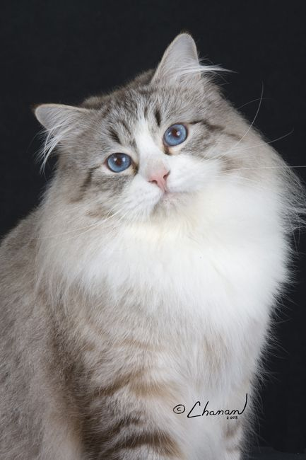 The Cat Breed I Want Siberian Cat Siberian Cat Gorgeous Cats Norwegian Forest Cat