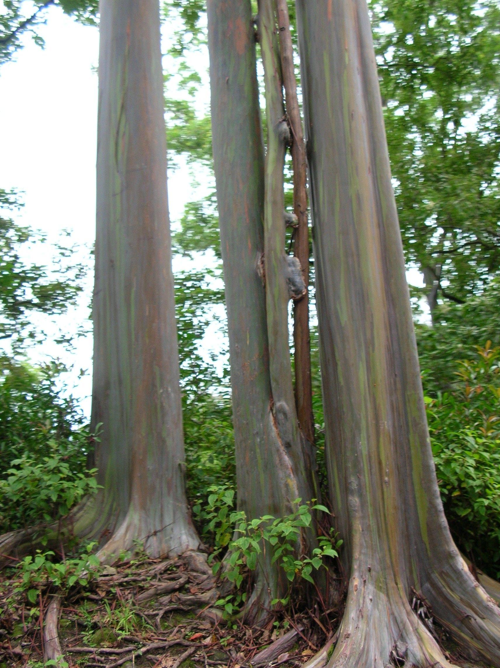 eucalyptus trunk - Google Search