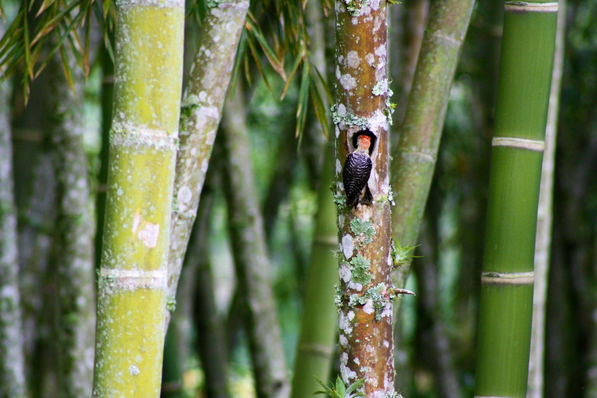 Woodpecker in bamboo