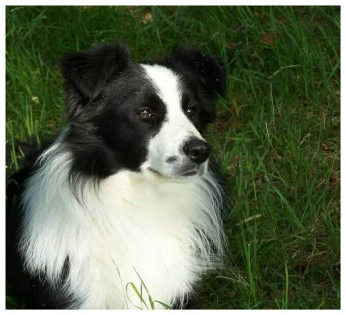 The Border Collie Is A Herding Dog Breed Developed In The Anglo