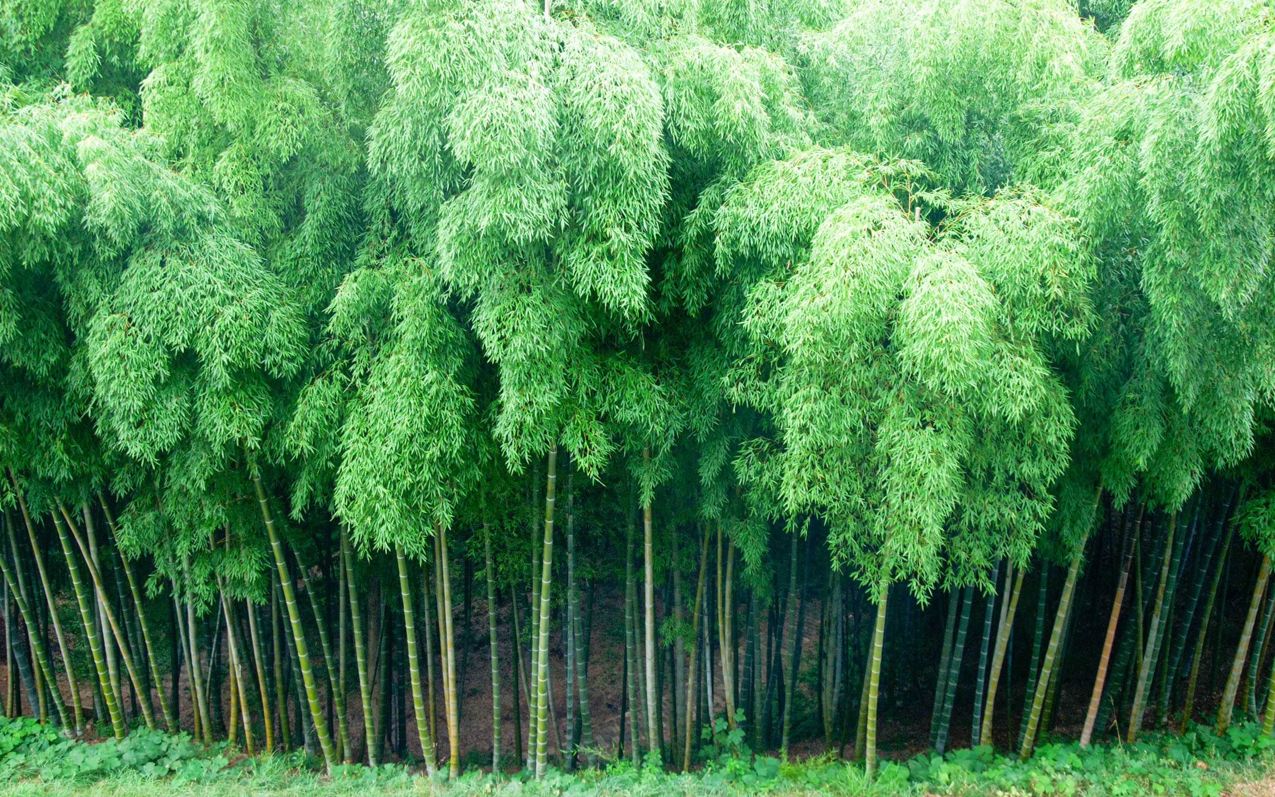bamboo new hd wallpapers 2015 (high quality) | bamboo wallpaper, hd