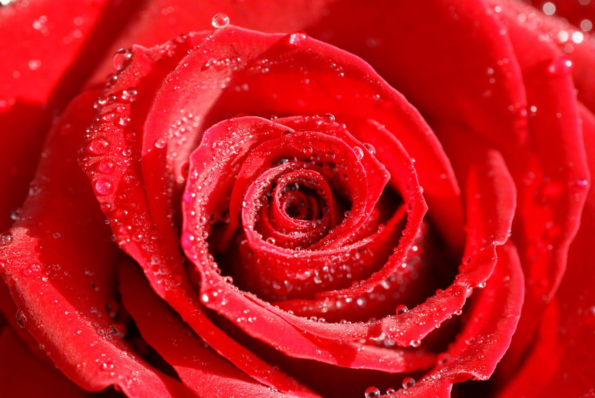 flower images hd rose and wallpapers Download