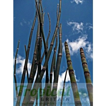 Equisetum hyemale Horsetail and other available awesomeness