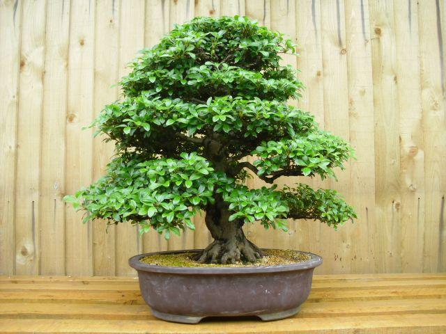 All Things Bonsai   BonsaI Tree Care   Indoor Bonsai Care