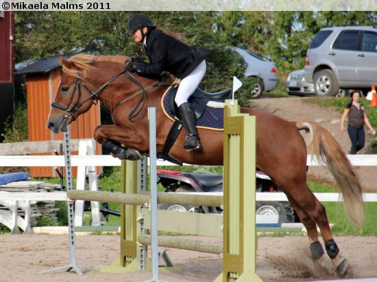 Finnhorse stallion Sumun Lordi