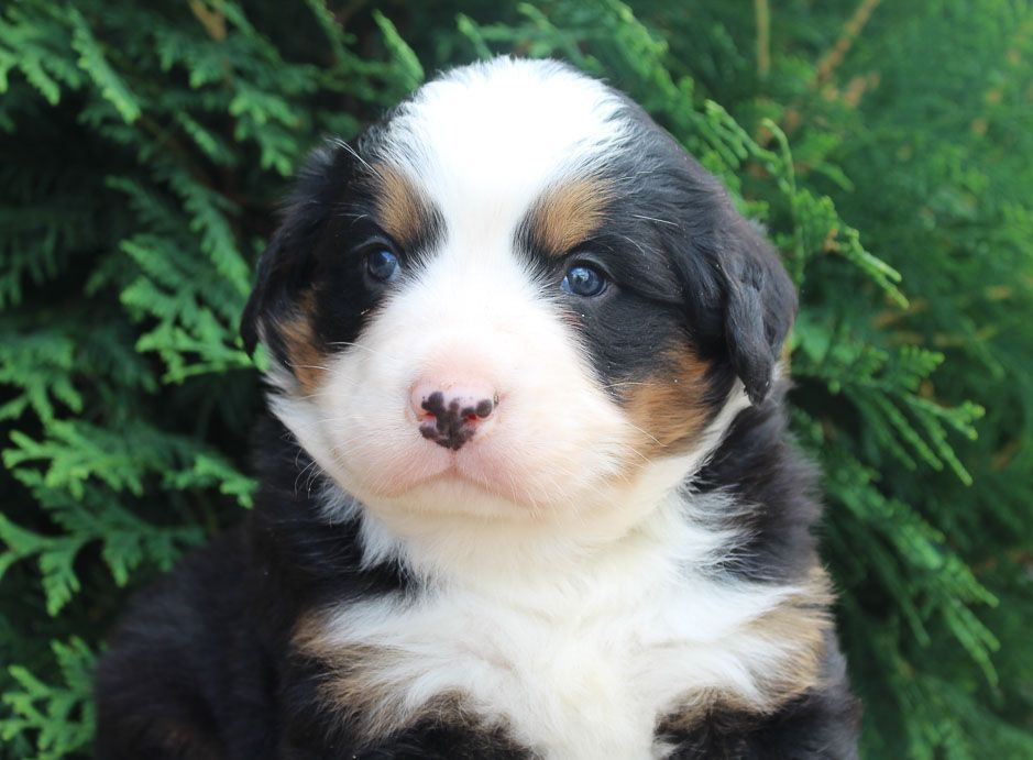 Brutus Bernese Mountain Dogs For Sale In Spencerville Indiana Newpuppy Bernese Mountain Dog Mountain Dogs Working Breeds