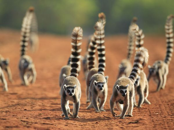 Lemurs are the star attraction of Mango Safaris' tour of Madagascar.