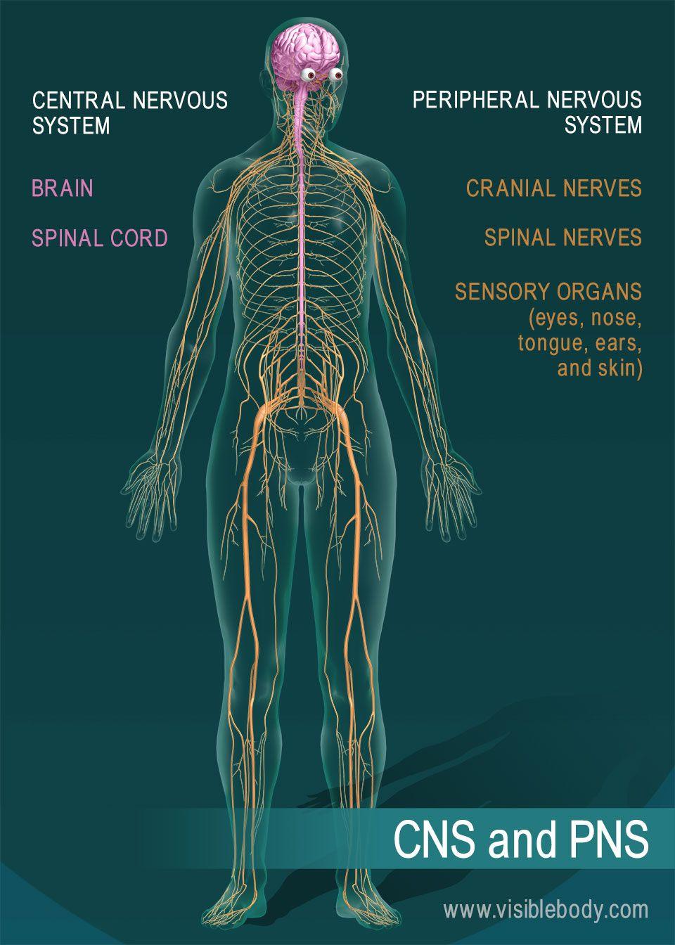 Nervous System Overview Central Nervous System Nervous System Nervous System Diagram