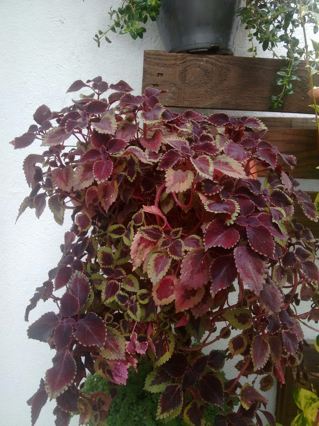 Flor de colheus