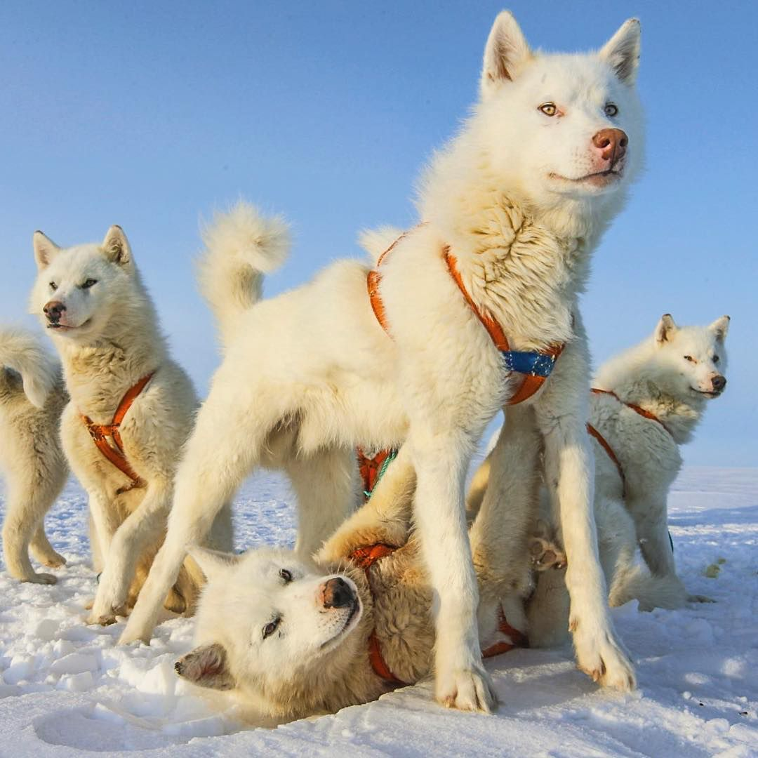 Pure white huskies Cute cats and dogs, Greenland dog
