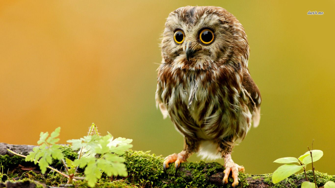 Image for Animal Wallpaper High Definition I39 Baby owls