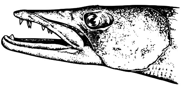 Barracuda Fish Head Coloring Pages Best Place To Color Coloring Pages Fish Coloring Page Color