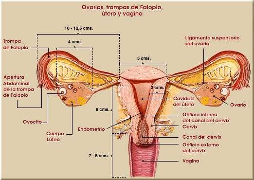 Aparato Genital Femenino Buscar Con Google Reproductive System Diagnostic Medical Sonography Teaching Biology