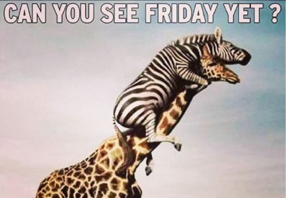 It S Friday Friday Got To Meme Down On Friday Giraffe Funny Animal Pictures Zebra