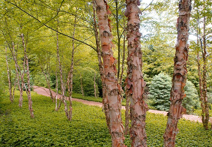 beautiful types of birch trees Part - 3: beautiful types of birch trees images