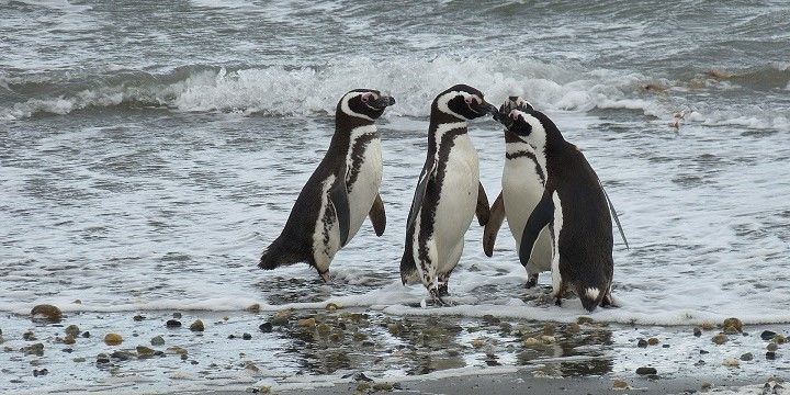 Penguins, Punta Arenas, Southern Chile, South America