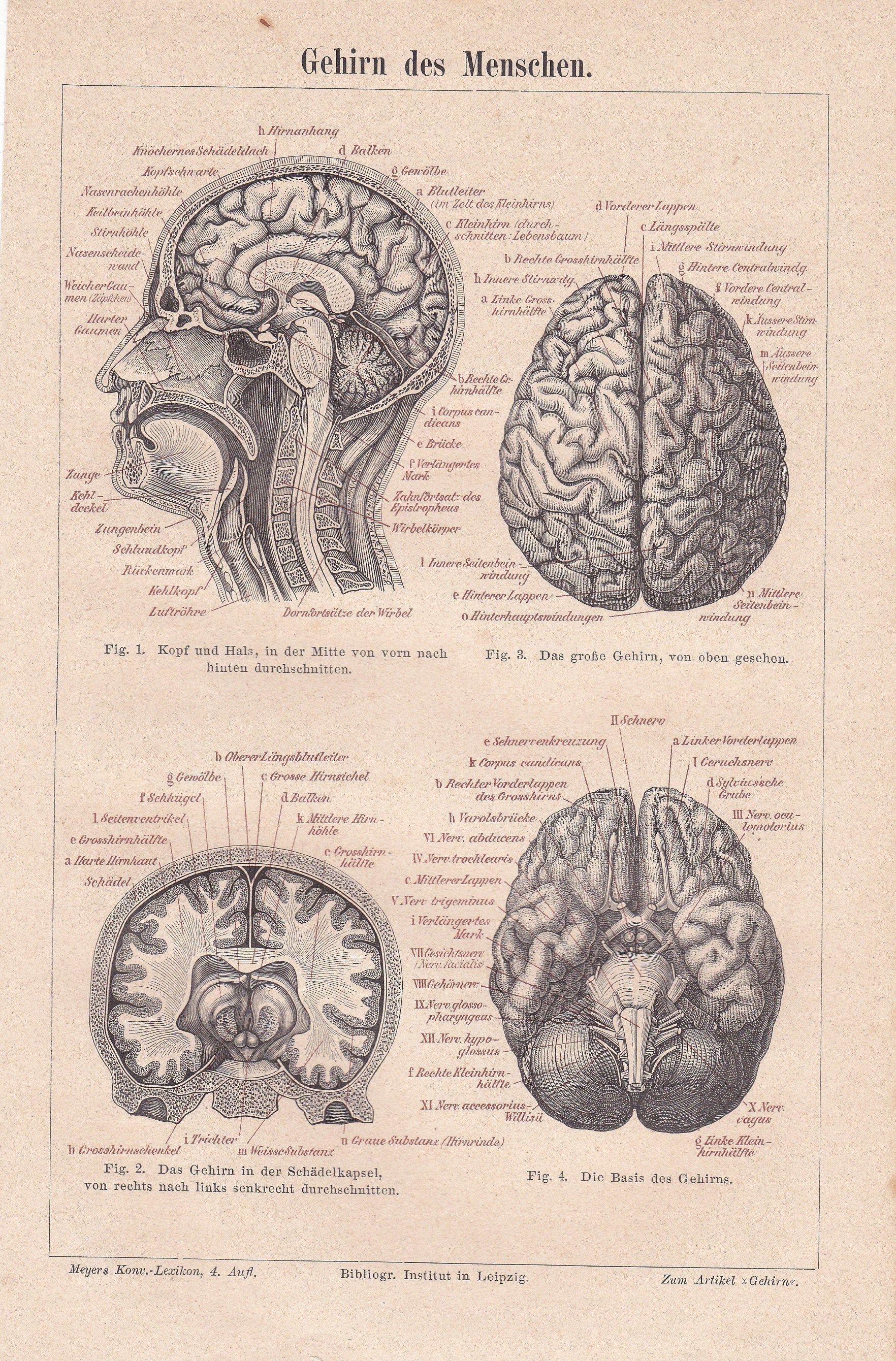 1886 Human Brain Anatomy Anatomical Sketch Of The Human Brain