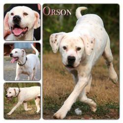 Orson American Bulldog Dog Macon Ga Contact All About Animals