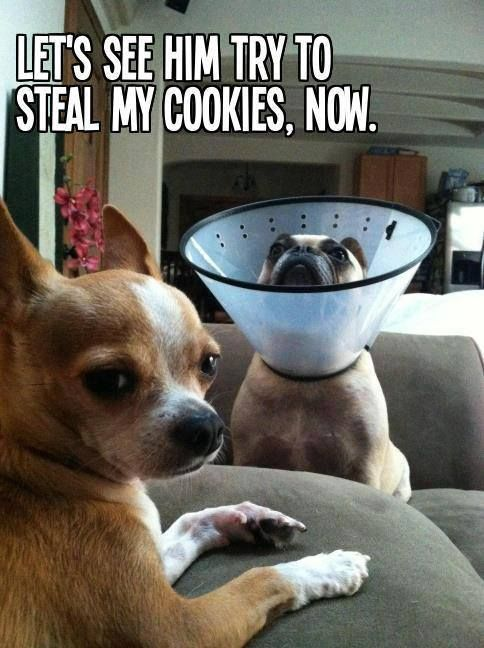 Funny Meme With A Dog In A Cone Collar Chihuahua Love Dogs