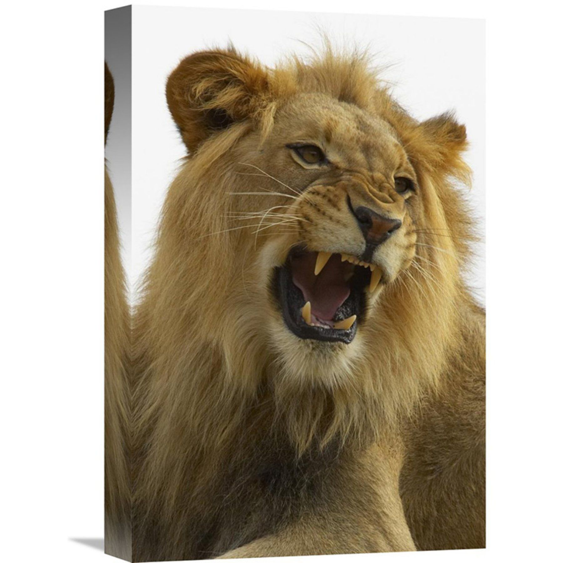 Growl Diego: Global Gallery African Lion Male Growling Native To Africa