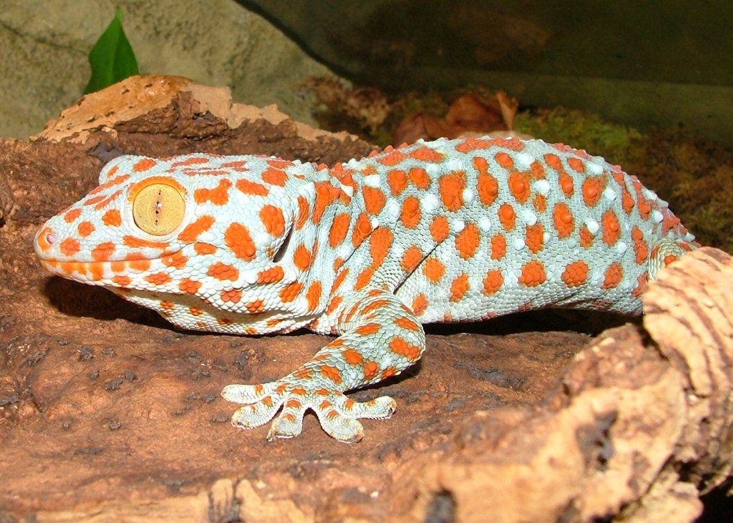 Tokay Geckos For Sale Lizard Gecko Animals