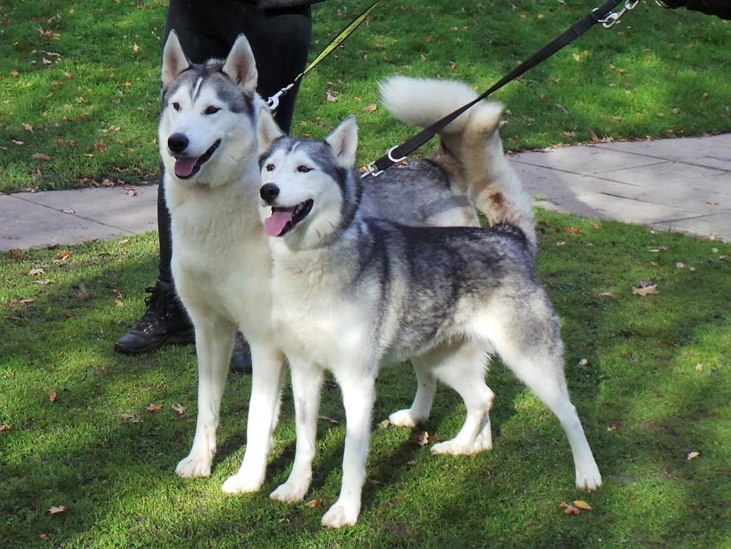 Adopt A Dog Dexter Siberian Husky Dogs Trust Dogs Siberian